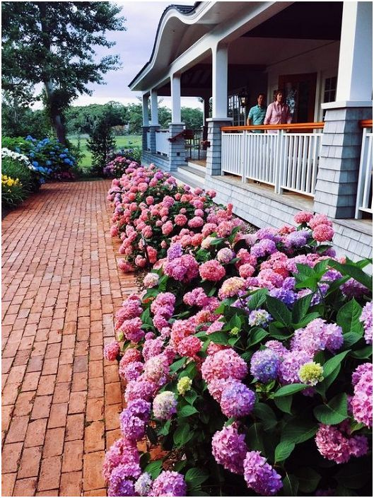 Възможно е да украсите предния вход на къщата, като засадите редица красиви цветя, например хортензии.
