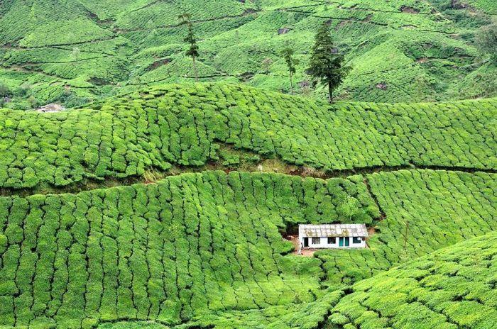 Małe mieszkanie otoczone plantacjami herbaty w Indiach.