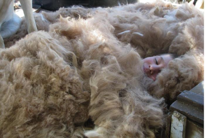 В тази ферма можете да спите с одеяла от алпака лама.