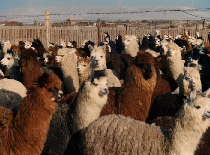 Алпаки на израелско ранчо.