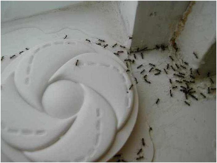 Walczące mrówki.