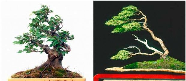 Vindbøyd bonsai