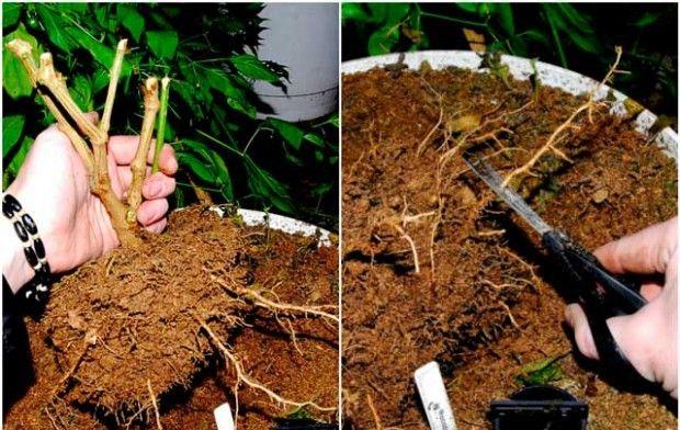 Как вырастить бонсай в домашних условиях?