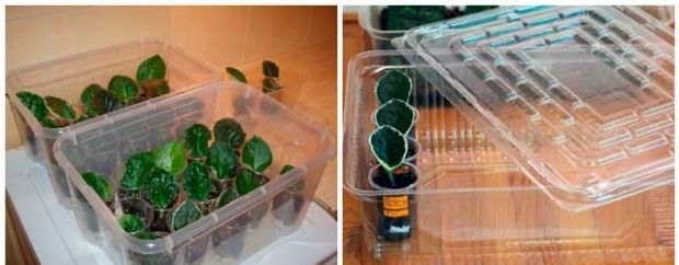 Как правильно сажать фиалки: от листа и семенами — пошаговая инструкция